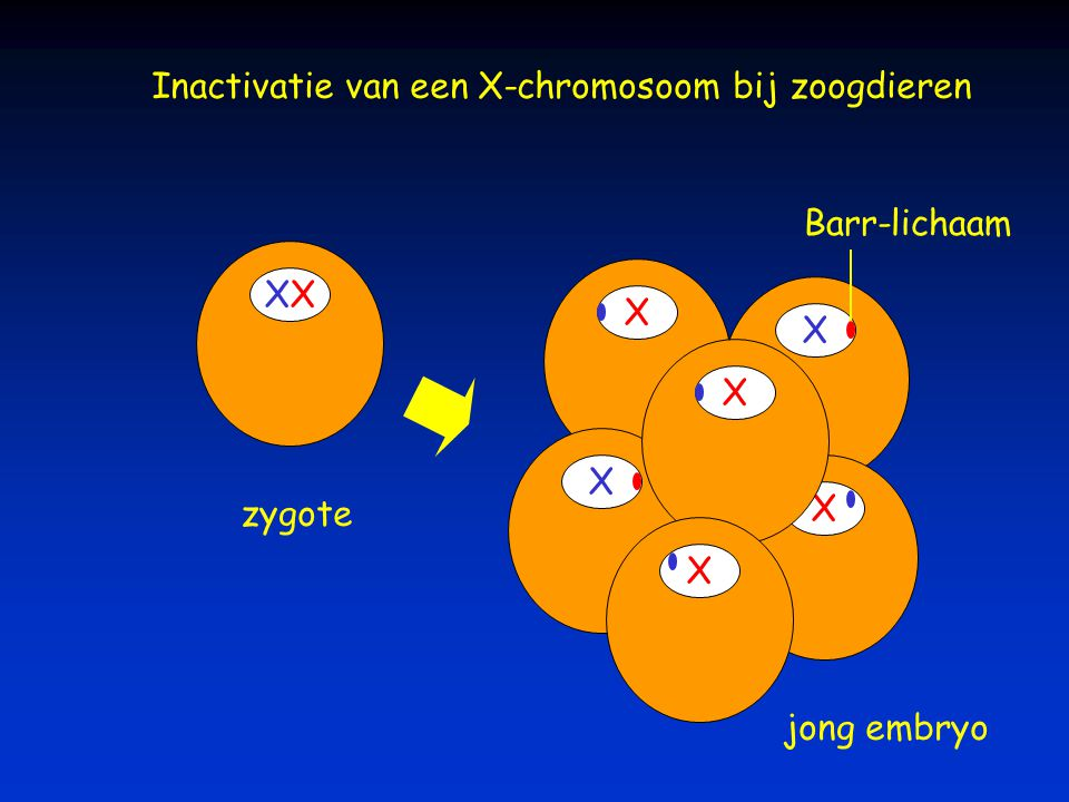 Inactivatie van een X-chromosoom bij zoogdieren
