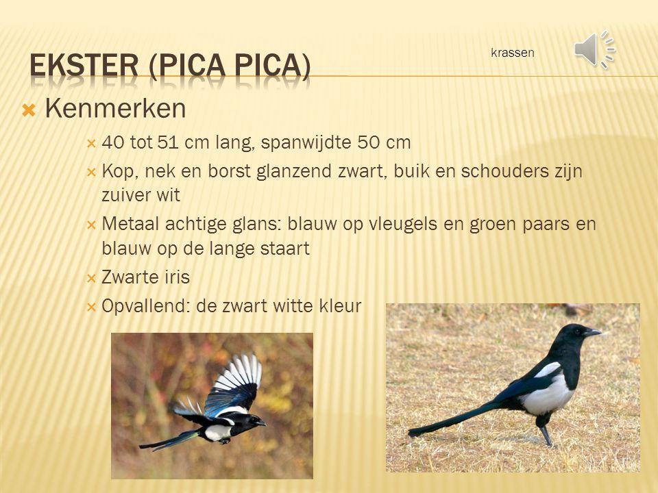 Ekster (pica pica) Kenmerken 40 tot 51 cm lang, spanwijdte 50 cm