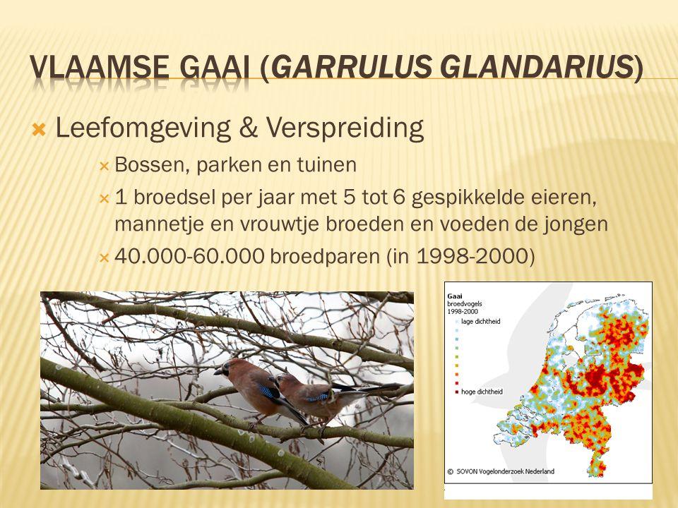 Vlaamse gaai (Garrulus glandarius)