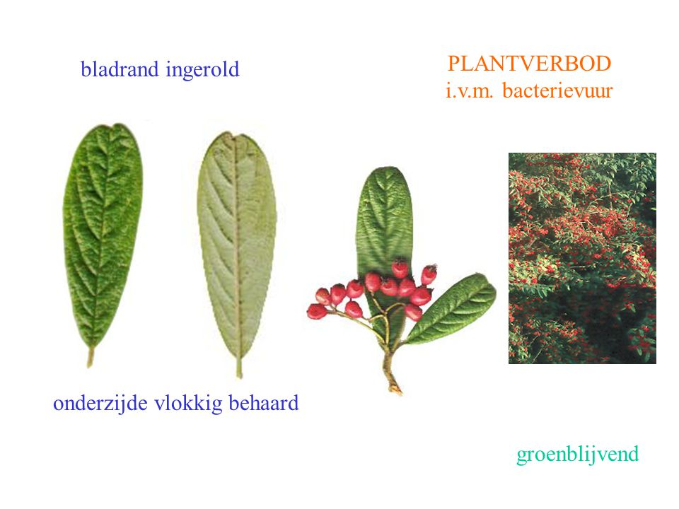 Cotoneaster salicifolius blad, vrucht