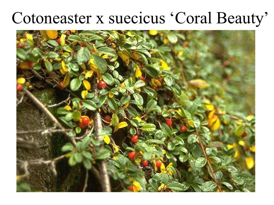 Cotoneaster x suecicus 'Coral Beauty'