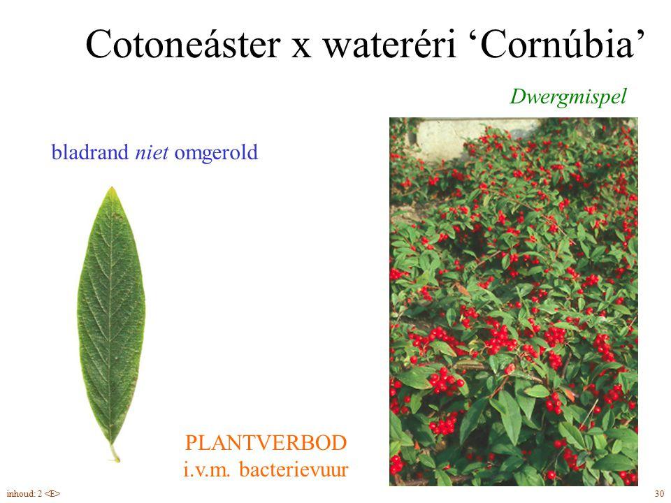 Cotoneáster x wateréri 'Cornúbia'