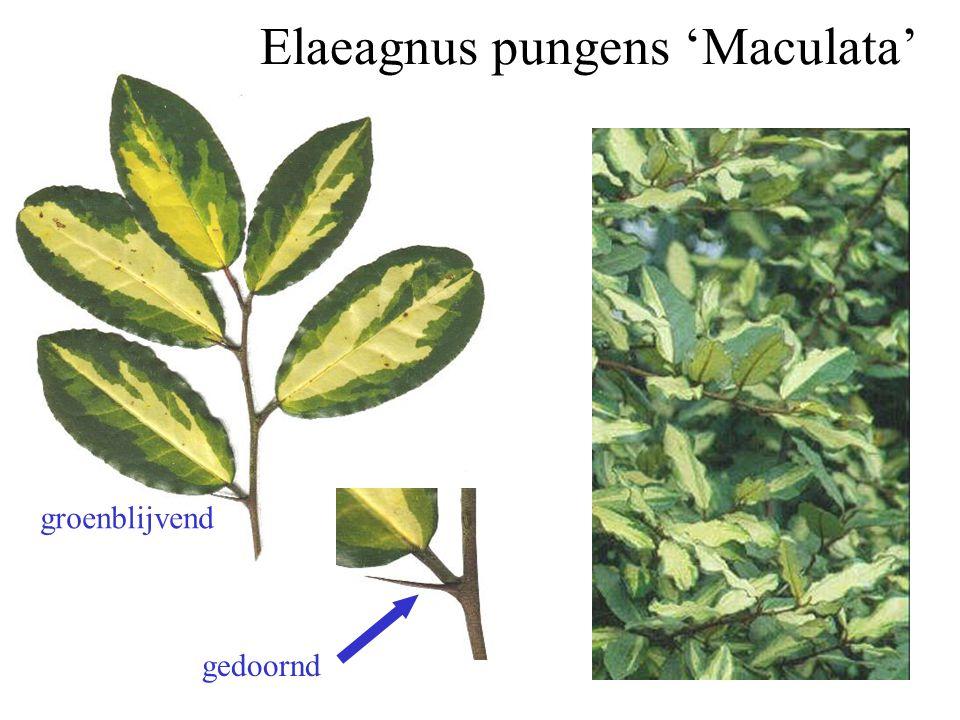 Elaeagnus pungens 'Maculata'
