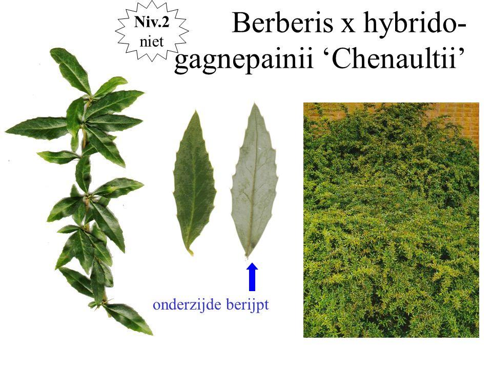 Berberis x hybrido-gagnepainii 'Chenaultii'