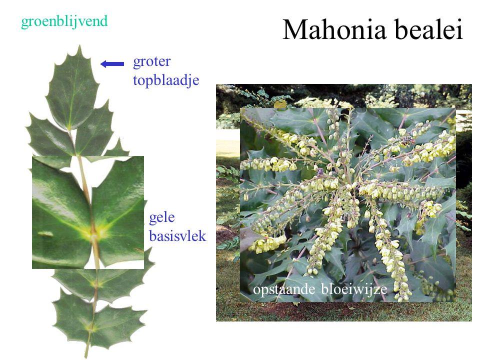 Mahonia bealei groenblijvend groter topblaadje gele basisvlek
