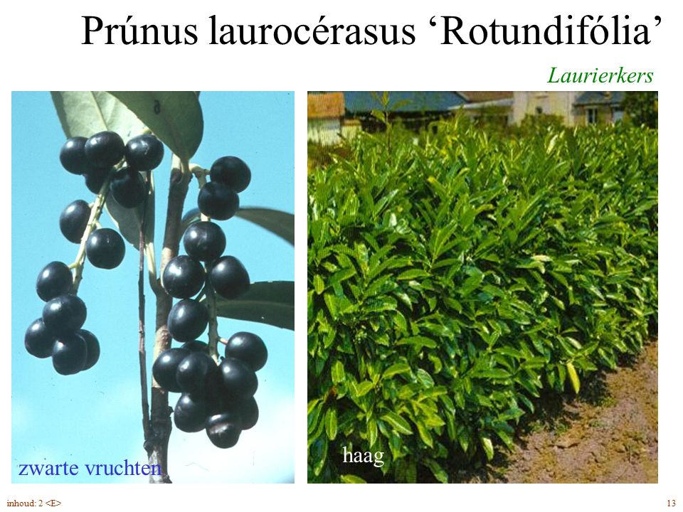 Prúnus laurocérasus 'Rotundifólia'