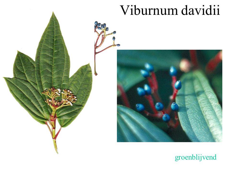Viburnum davidii drienervig groenblijvend