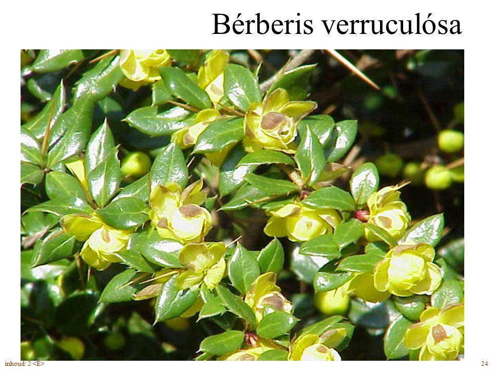 Bérberis verruculósa gele twijg met wratten groenblijvend