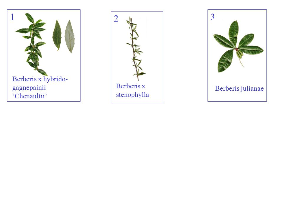 1 2 3 Berberis overzicht Berberis x hybrido-gagnepainii 'Chenaultii'