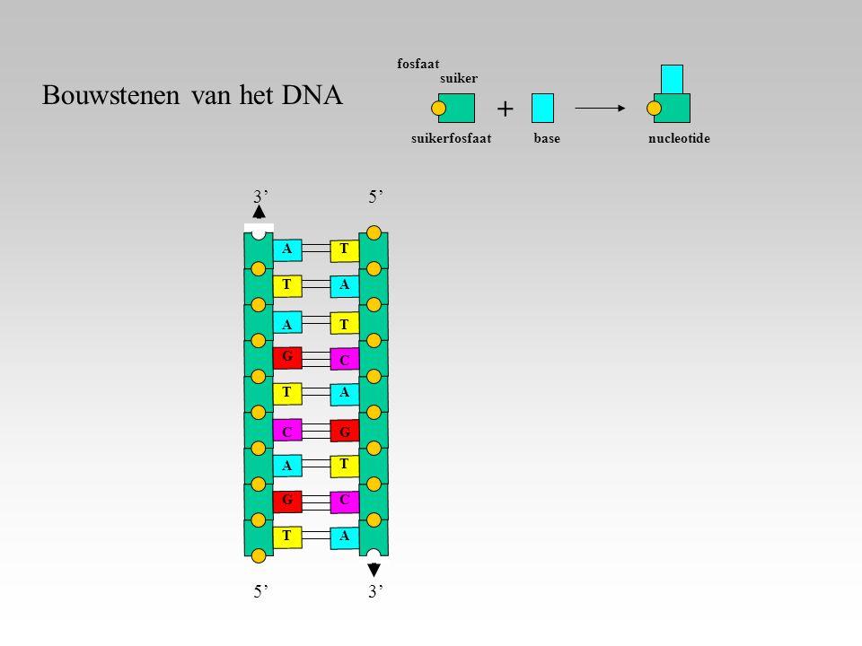 Bouwstenen van het DNA + 3' 5' 5' 3' fosfaat suikerfosfaat suiker