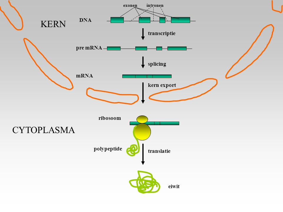 KERN CYTOPLASMA DNA transcriptie pre mRNA splicing mRNA kern export