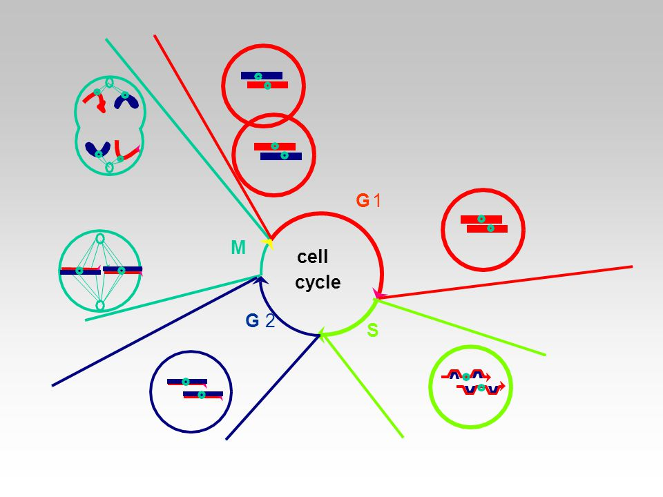 G 1 M cell cycle G 2 S