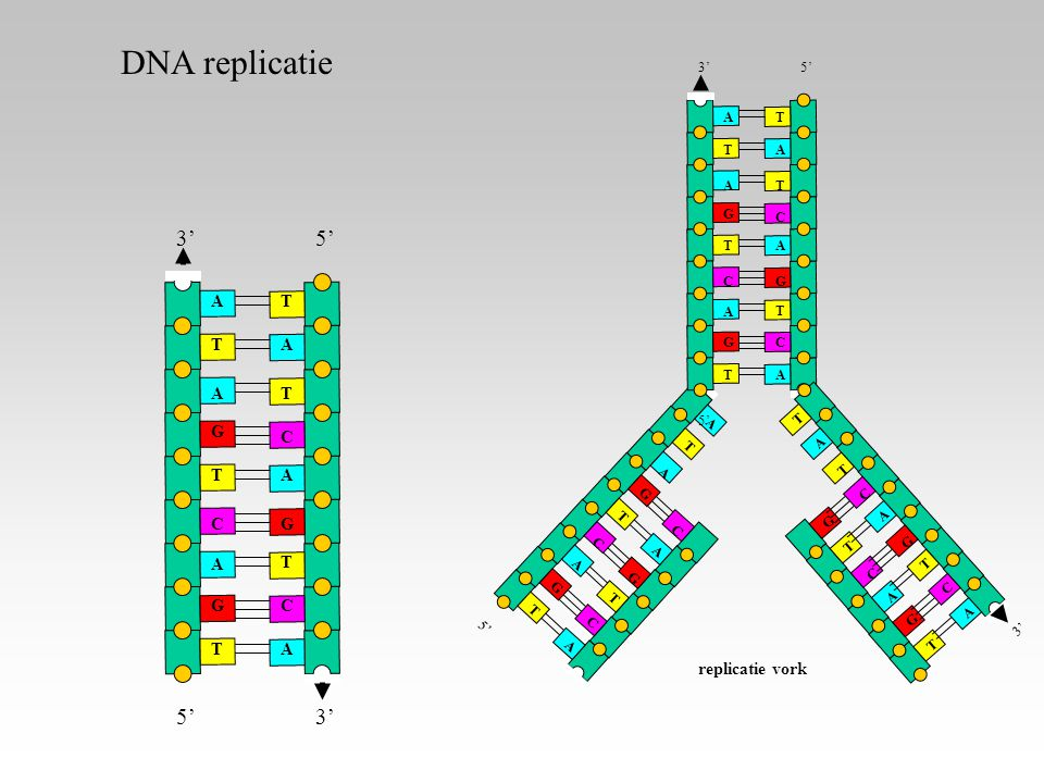 DNA replicatie A T G C 5' 3' replicatie vork A T G C 3' 5' A T G C