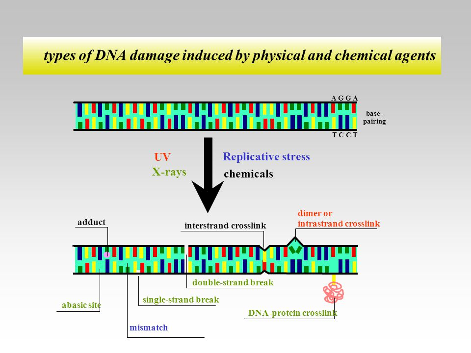 types of DNA damage induced by physical and chemical agents