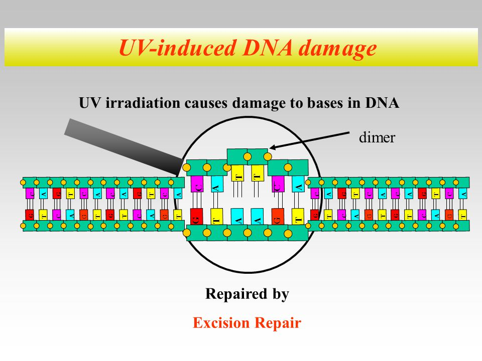 UV irradiation causes damage to bases in DNA