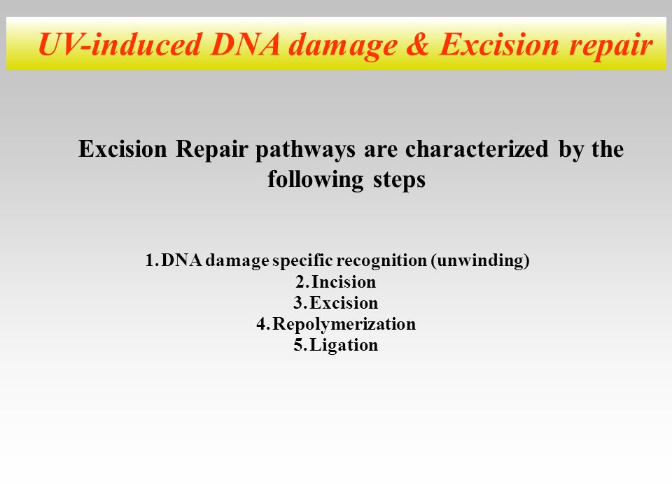 UV-induced DNA damage & Excision repair