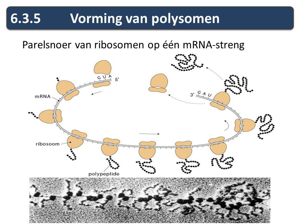 6.3.5 Vorming van polysomen Parelsnoer van ribosomen op één mRNA-streng