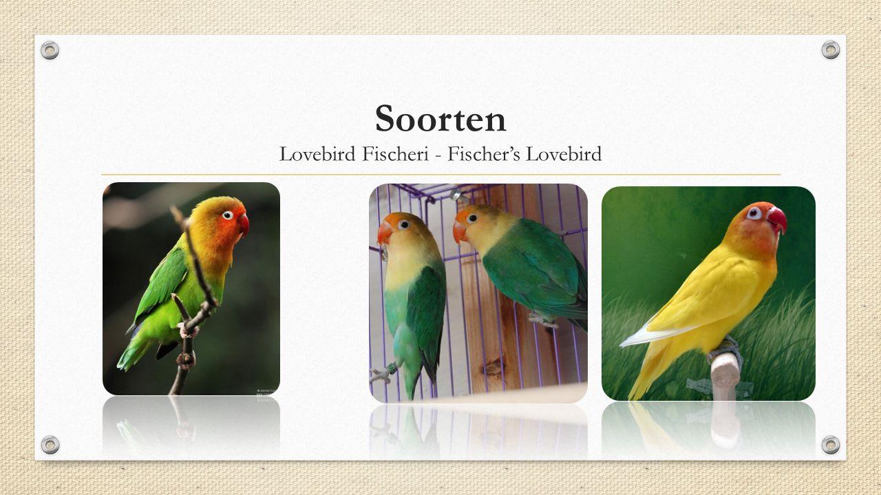 Lovebird Fischeri - Fischer's Lovebird