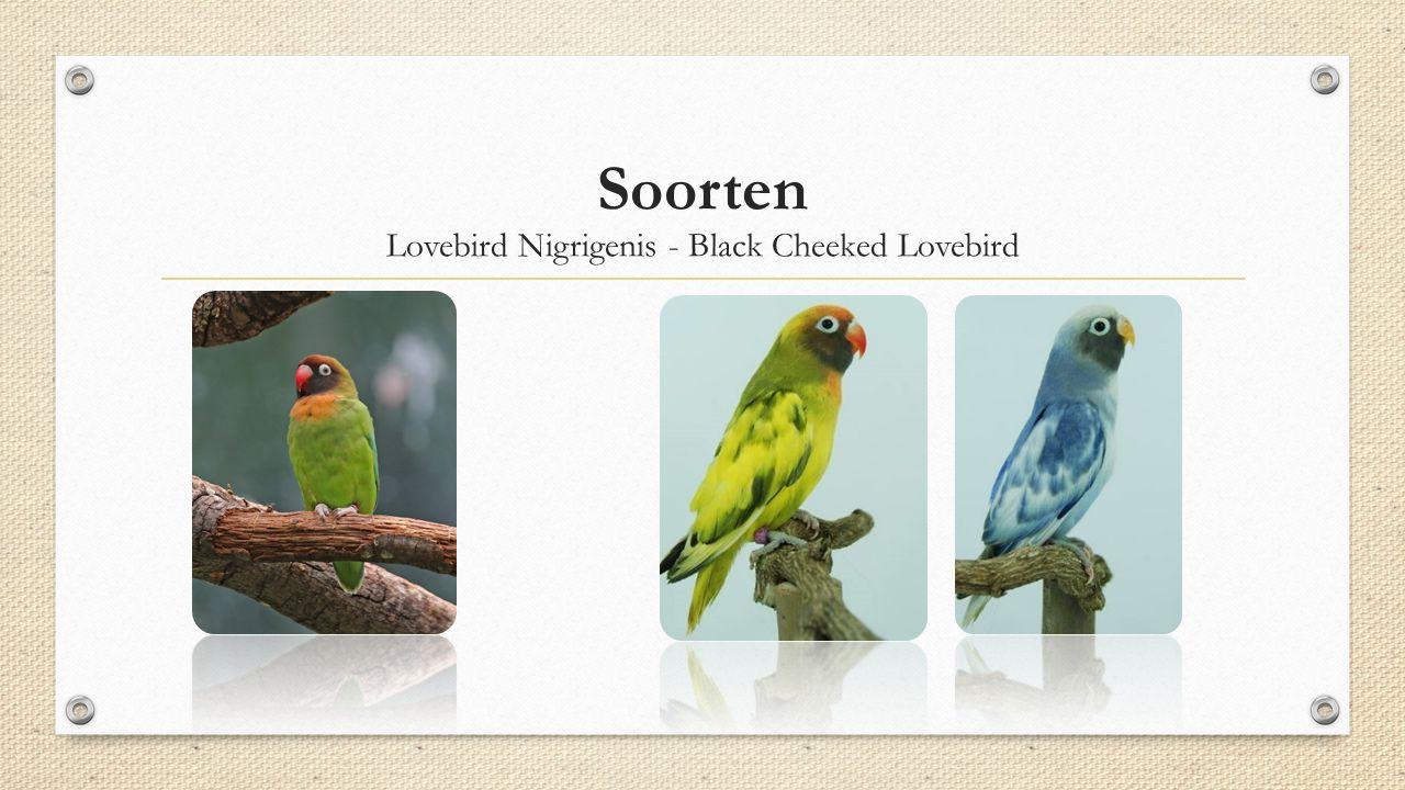 Lovebird Nigrigenis - Black Cheeked Lovebird