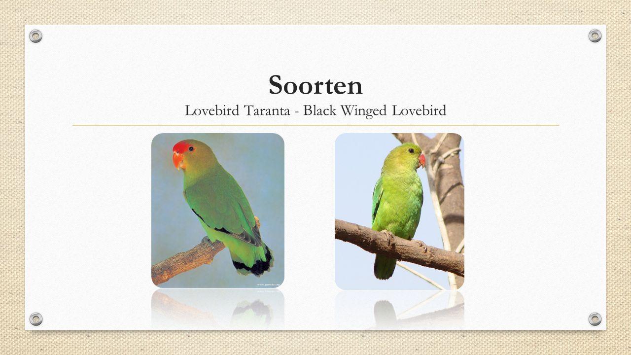 Lovebird Taranta - Black Winged Lovebird