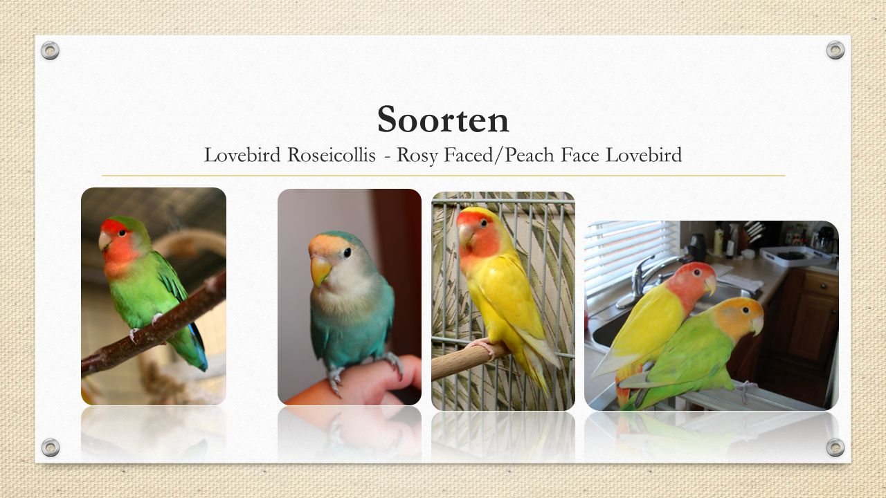 Lovebird Roseicollis - Rosy Faced/Peach Face Lovebird