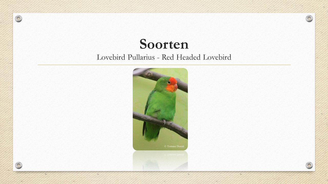 Lovebird Pullarius - Red Headed Lovebird