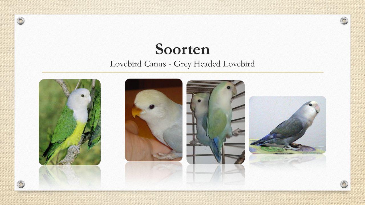 Lovebird Canus - Grey Headed Lovebird