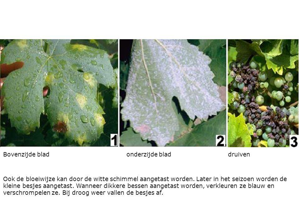 Bovenzijde blad onderzijde blad druiven