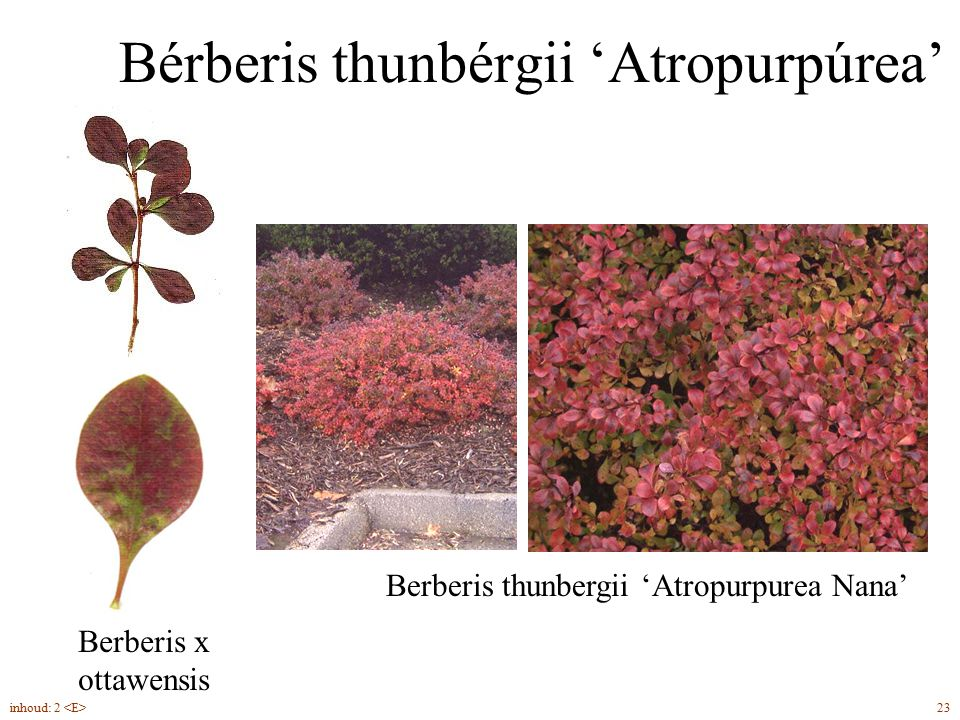 Bérberis thunbérgii 'Atropurpúrea'