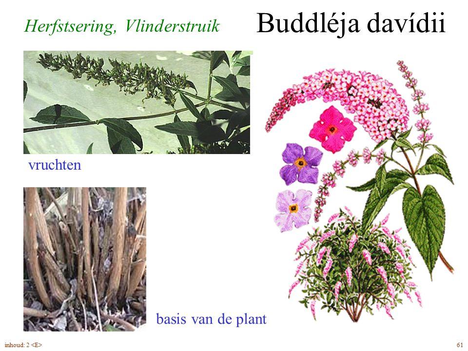Buddléja davídii Herfstsering, Vlinderstruik vruchten