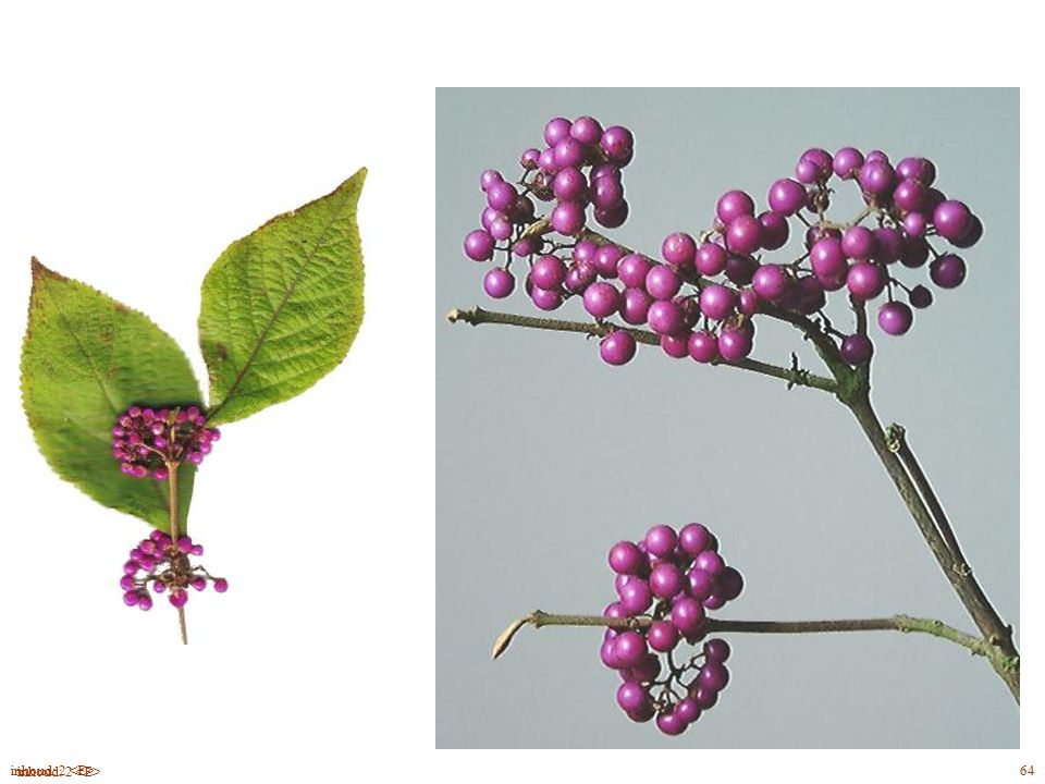 Callicárpa bodiniéri blad, bloei, vrucht