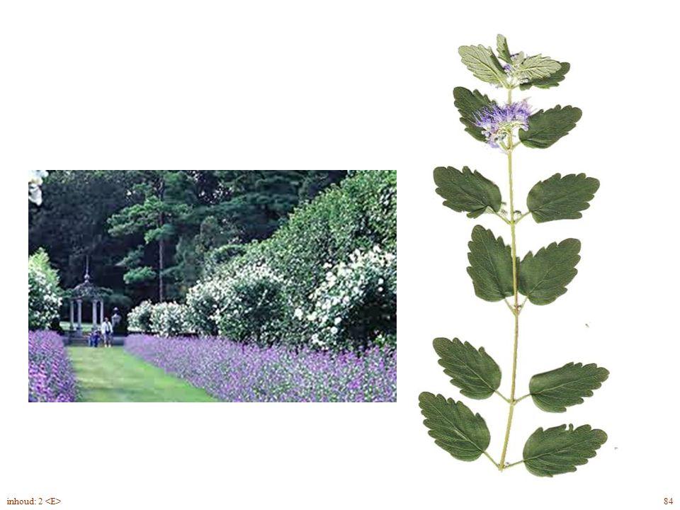 Caryópteris x cland. blad, bloem