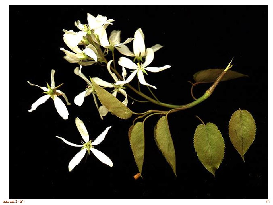 Amelanchier lamarckii blad