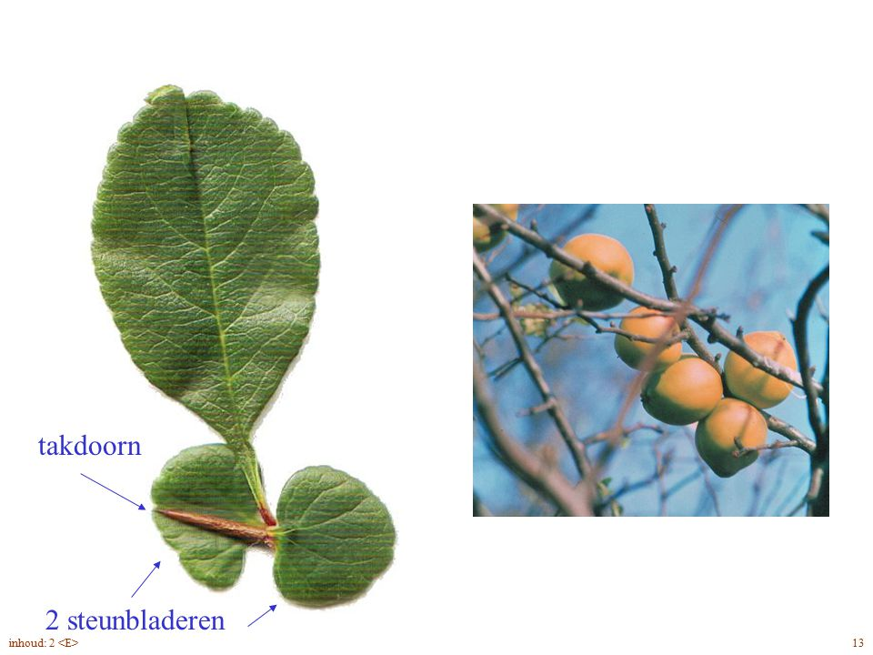 Chaenomeles speciosa blad, bloei, vrucht