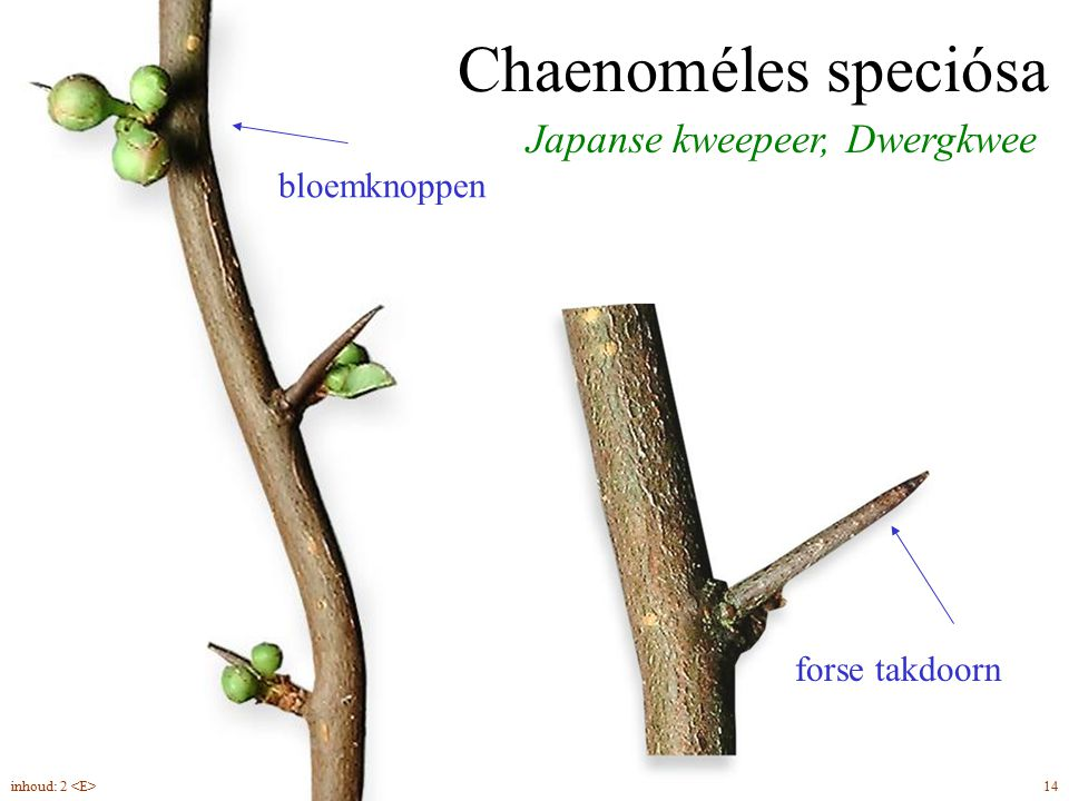 Chaenoméles speciósa Japanse kweepeer, Dwergkwee bloemknoppen