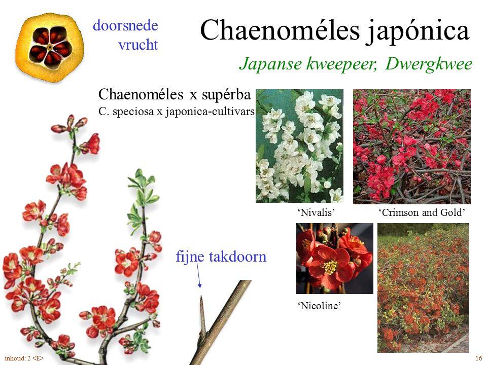 Chaenoméles japónica / C. x supérba