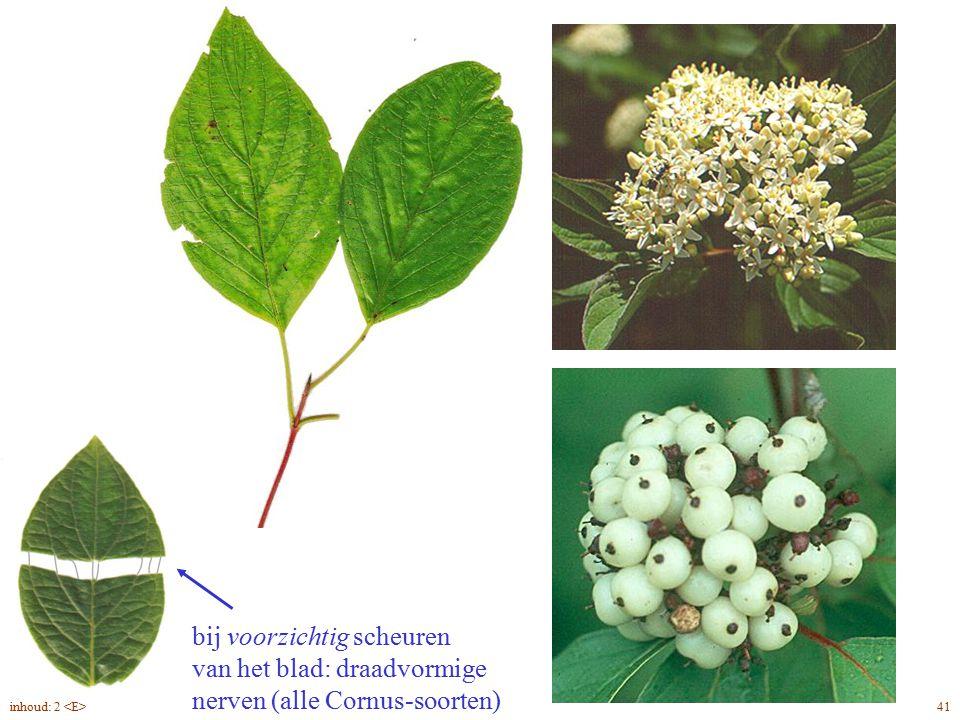 Cornus alba blad, bloem, vrucht
