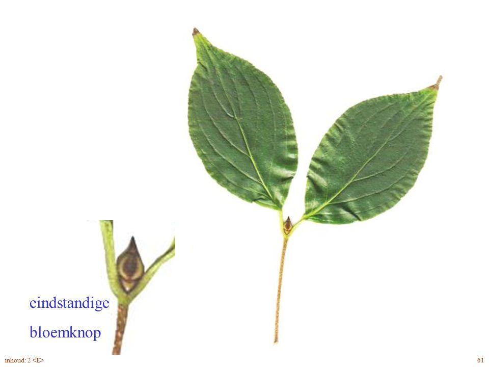 Cornus kousa blad eindstandige bloemknop inhoud: 2 <E> 61