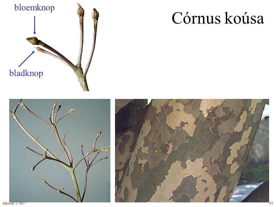 bladknop bloemknop Córnus koúsa inhoud: 2 <E> 65