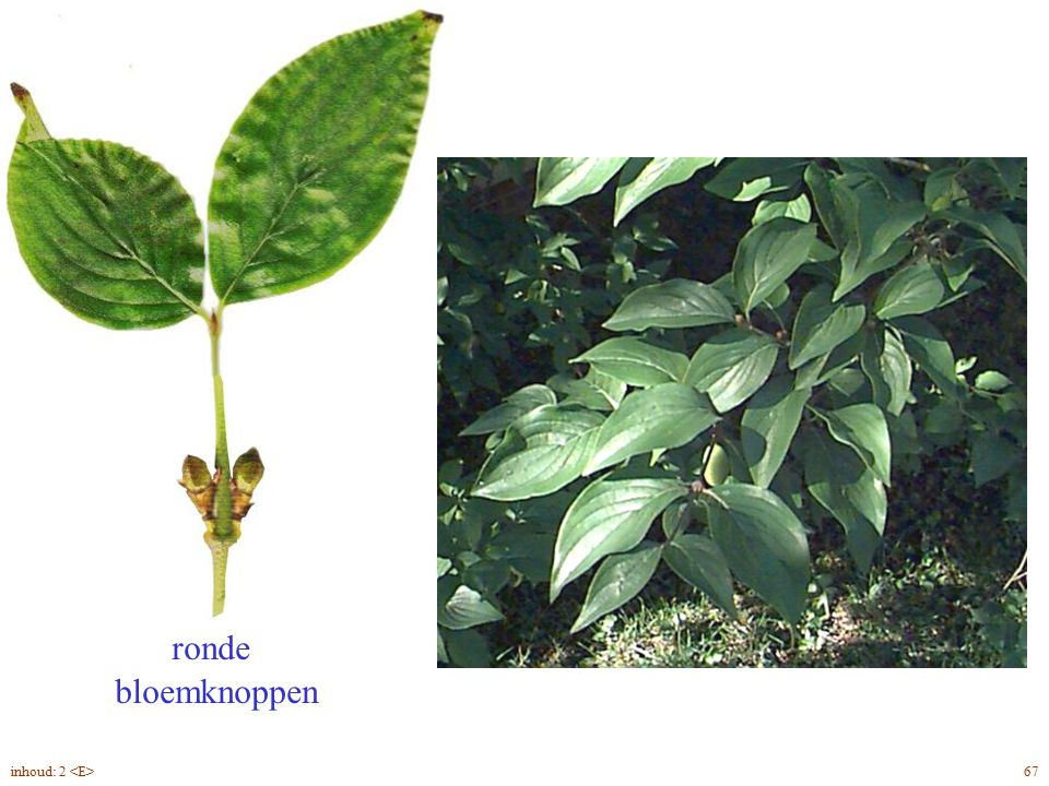 Cornus mas blad ronde bloemknoppen inhoud: 2 <E> 67