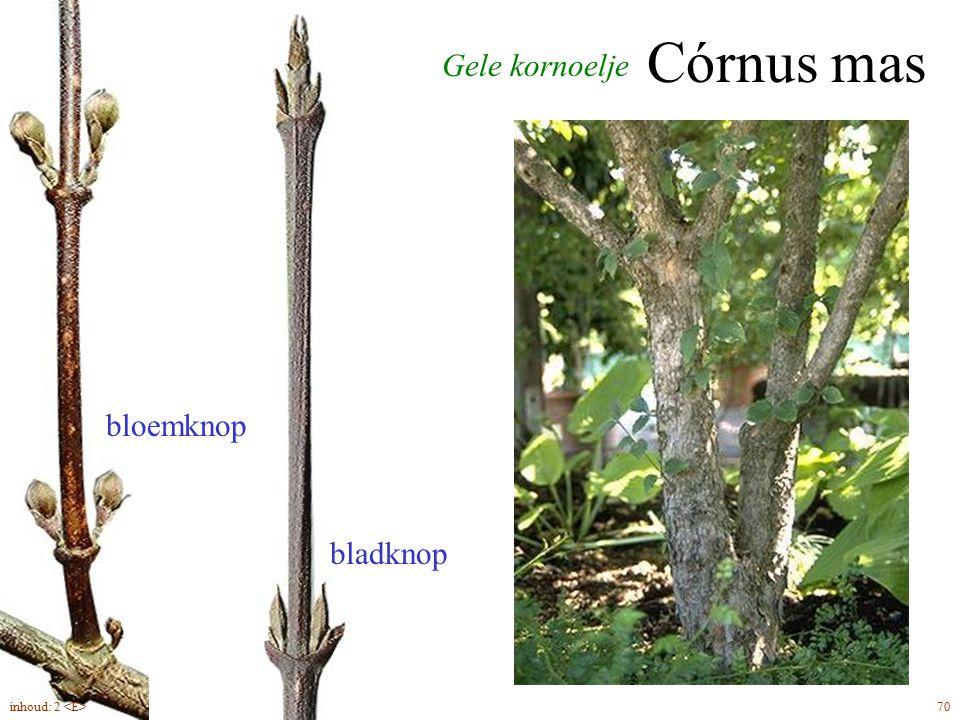 bloemknop bladknop Córnus mas Gele kornoelje inhoud: 2 <E> 70