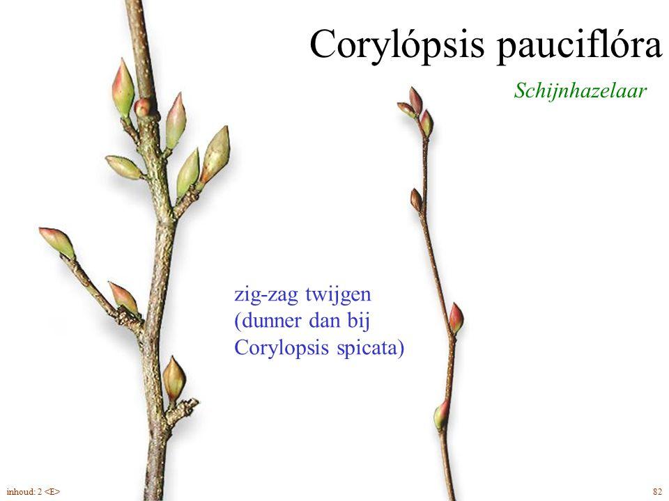 Corylópsis pauciflóra