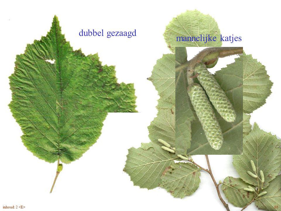 Corylus avellana blad, bloei
