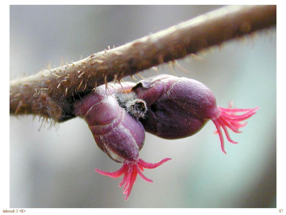 Corylus avellana bloei