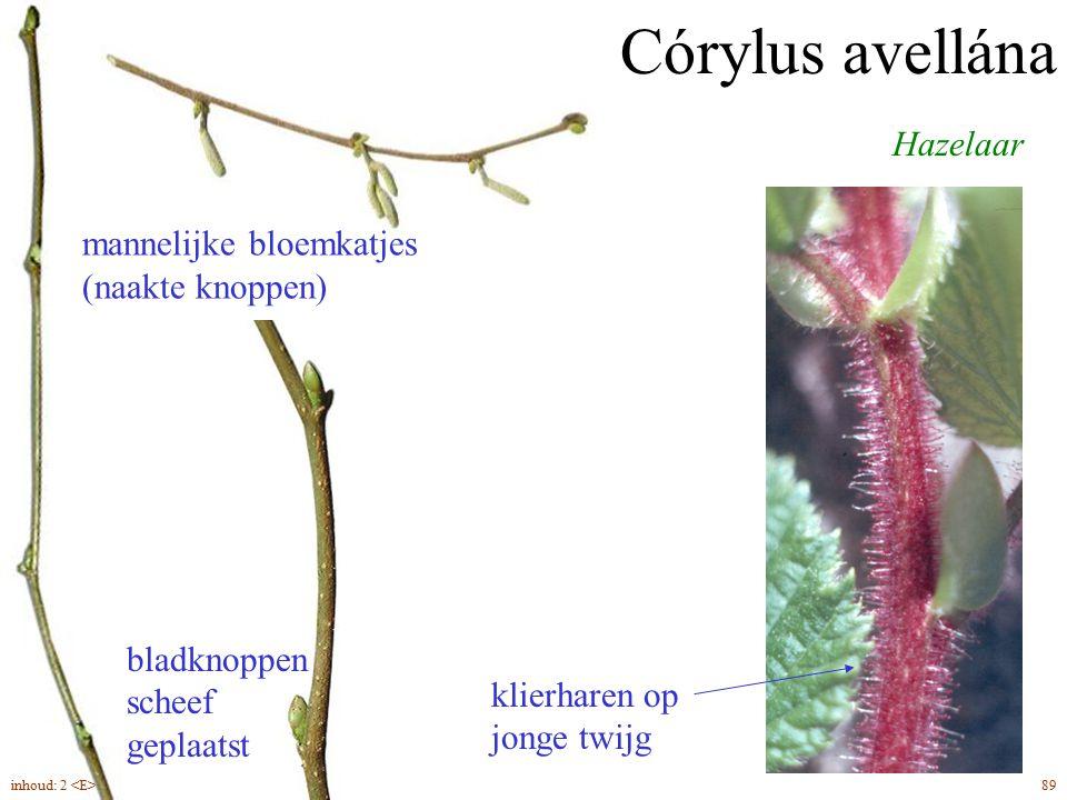 Córylus avellána Hazelaar mannelijke bloemkatjes (naakte knoppen)
