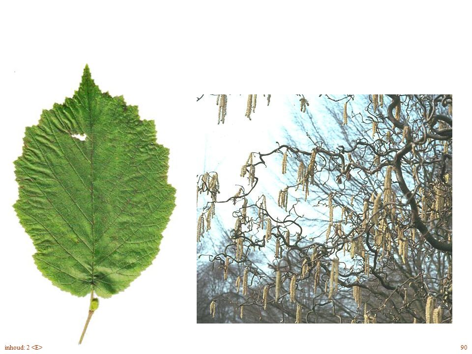 Corylus avellana 'Contorta' blad, bloei