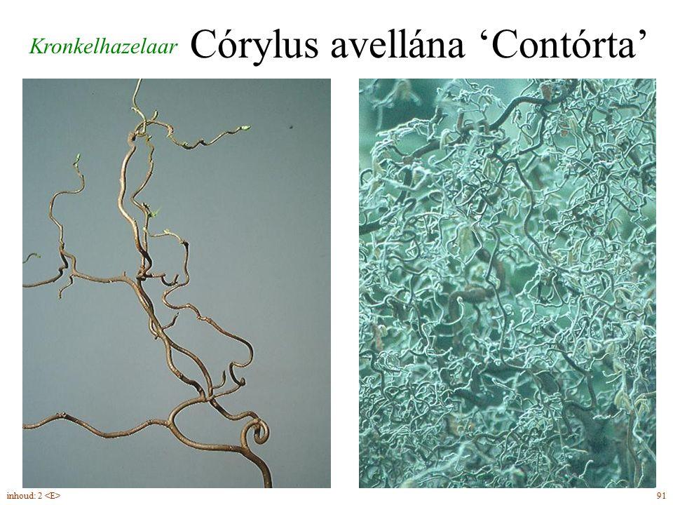 Córylus avellána 'Contórta'