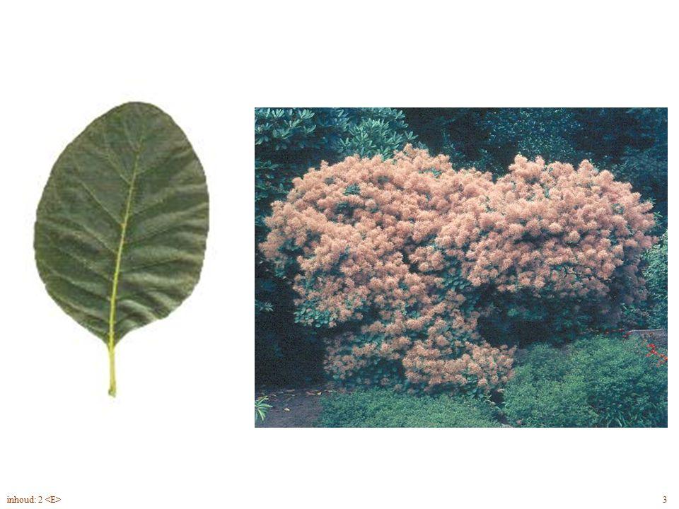 Cotinus coggygria blad, struik