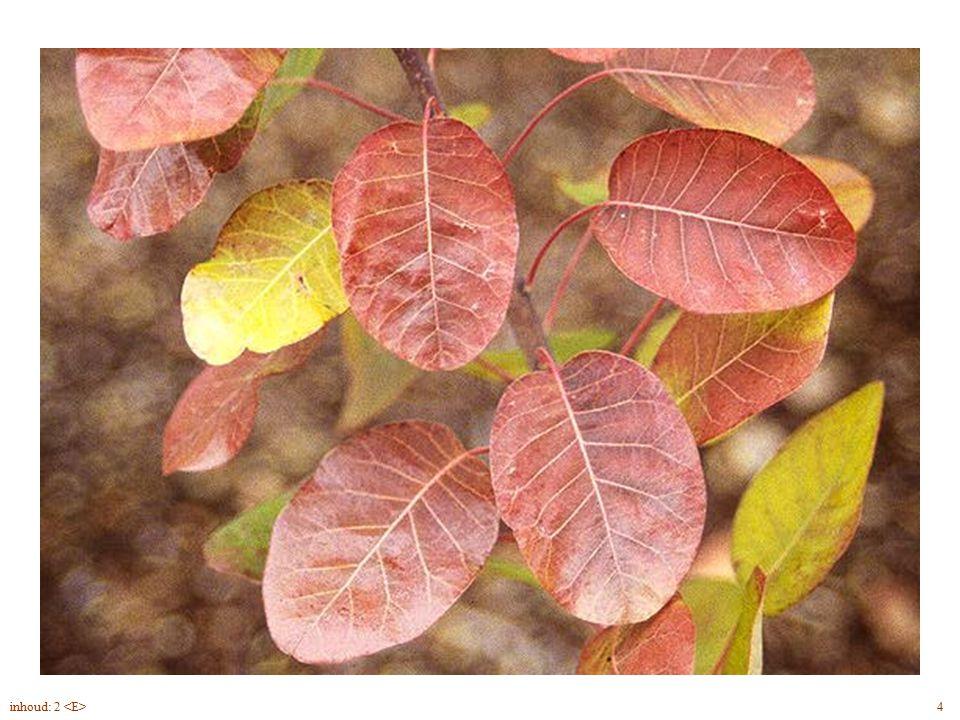 Cotinus coggygria bloei, herfst