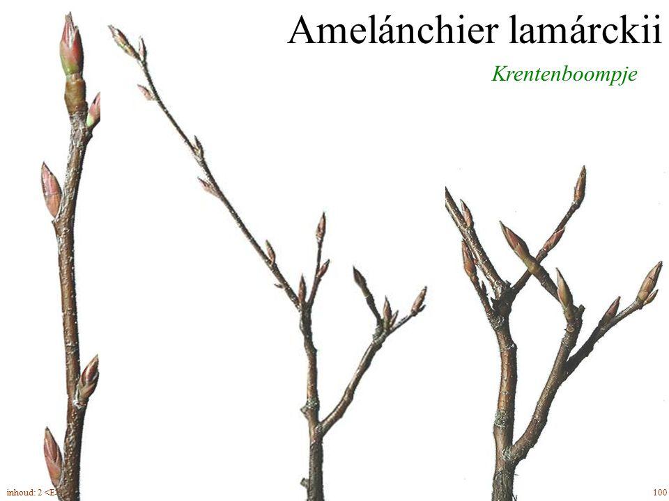 Amelánchier lamárckii